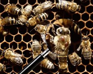 abeille-varroa